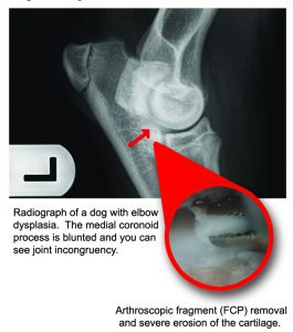 The #1 cause of front-limb lameness in young, large-breed dogs? Elbow dysplasia