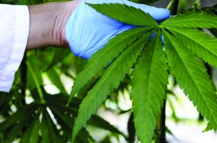 Medical Marijuana is Proving to be a Leading Treatment Alternative