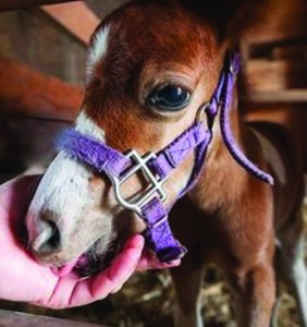 WHEN DINING WITH A MINIATURE HORSE… UNDERSTANDING FLORIDA LAW REGARDING SERVICE AND ASSISTANCE ANIMALS